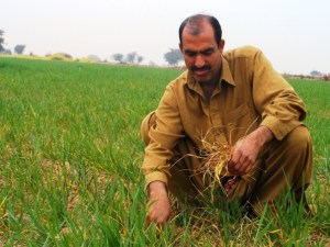 Durez Khan inspects his organic wheat crop at his farm in Bhagwal, a village in Chakwal district in Pakistan's Punjab province. THOMSON REUTERS FOUNDATION/Aamir Saeed