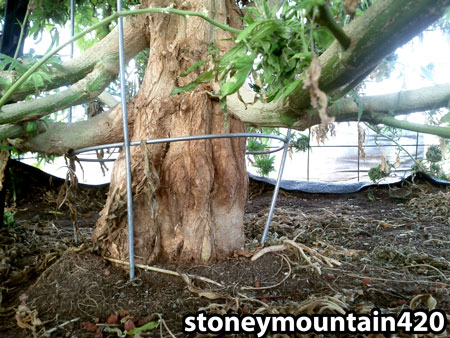 """Base of a huge cannabis plant resembles the trunk of a tree (complete with """"bark"""")!"""