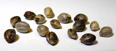 Although each of these cannabis seeds look different, they're all viable!