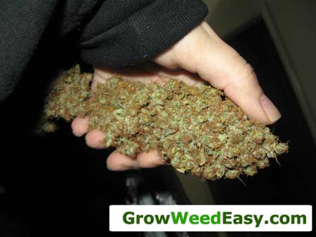 Grow top-shelf cannabis buds with these 7 tips!