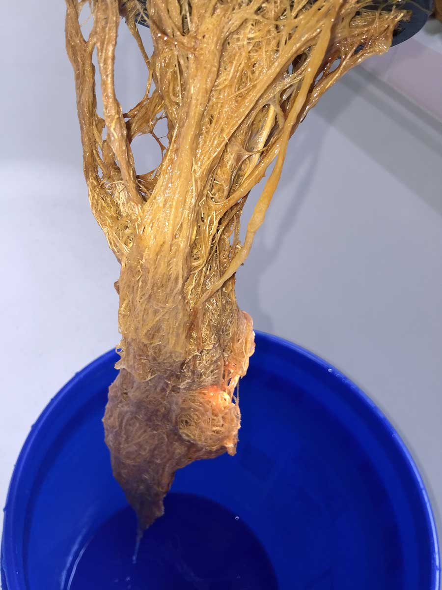Root Rot | Growing Exposed