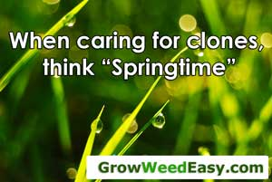 "Caring for cannabis clones - think ""springtime"""