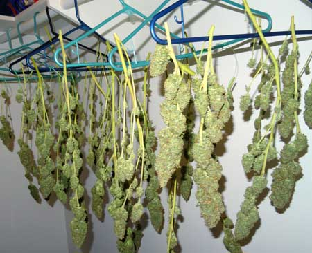 Drying my marijuana buds in a closet - there's no more beautiful site than your own harvest of marijuana :)