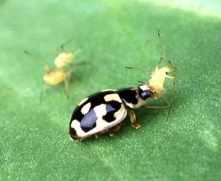 Many lady bird beetles eat aphids off your cannabis plants