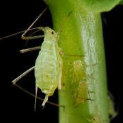 Aphids are an annoying marijuana pest