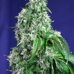 Big Devil F1 Fast Version Sweet Seeds