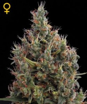 Big Bang Autoflowering Auto Green House Seeds Co