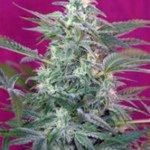 BIG FOOT Fem SWEET SEEDS