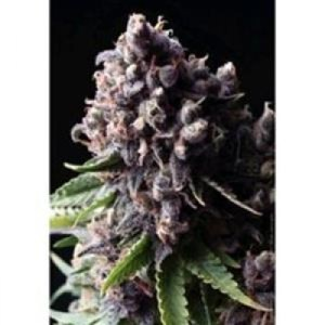 Auto Purple auto Pyramid Seeds