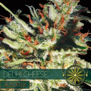 Dheli Cheese Auto Vision Seeds