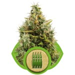 Royal AK Auto Royal Queen Seeds