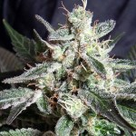 BLACK JACK Fem SWEET SEEDS