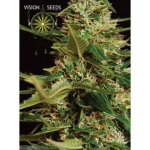 Super Skunk Auto Vision Seeds