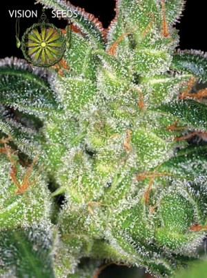 Cheese Fem Vision Seeds