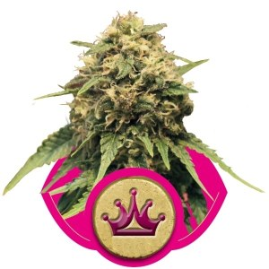 Special Queen 1 FEM Royal Queen Seeds