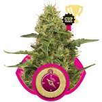 Northern Light Fem Royal Queen Seeds