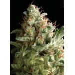 AUTO AMERICAN PIE Pyramid seeds