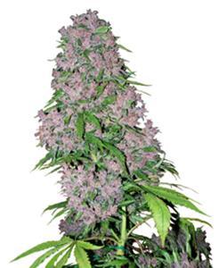 Purple Bud Fem 5