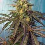 Cream Caramel CBD Fem Sweet Seeds