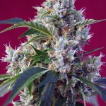 Indigo Berry Kush Fem Sweet Seeds