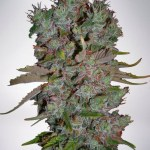 Auto Blueberry Domina Auto Ministry Of Cannabis