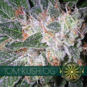 Tom Kush OG Fem Vision Seeds