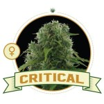 Critical Fem City Seeds Bank
