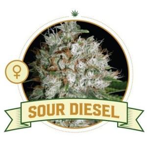 Sour Diesel Fem City Seeds Bank
