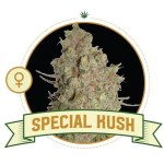 Special Kush Fem City Seeds Bank