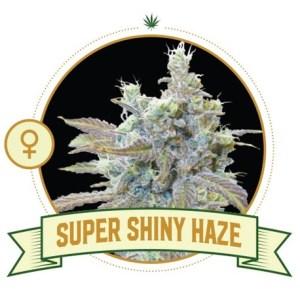 Super Shiny Haze Fem City Seeds Bank