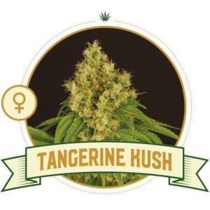 Tangerine Kush Fem City Seeds Bank