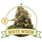 White Widow Fem City Seeds Bank