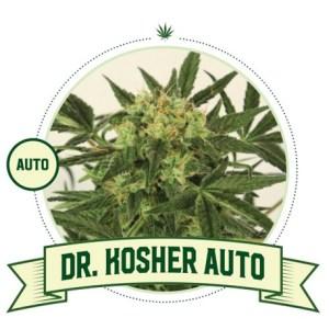 Dr Kosher kush Auto City Seeds Bank