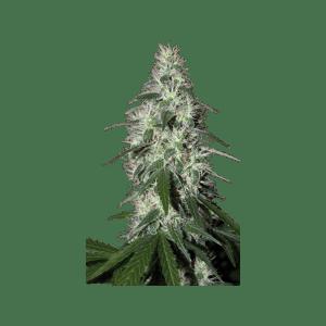 Pulsar Fem Buddha Seeds