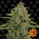TRIPLE CHEESE Fem Barney's Farm