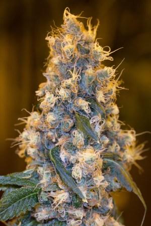 Blue Fire Fem Humboldt Seeds