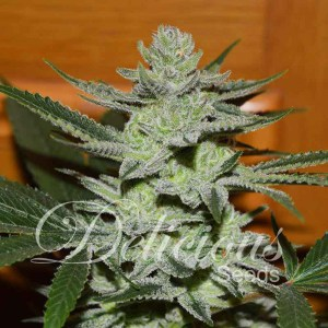 UNKNOWN KUSH® Fem Delicious Seeds