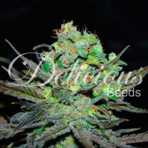 ELEVEN ROSES® Fem Delicious Seeds