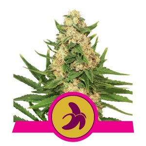 Fat Banana FEM USA Premium Royal Queen Seeds