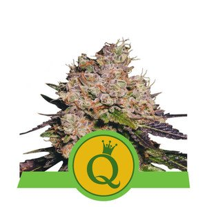 Purple Queen Automatic USA Premium Royal Queen Seeds