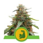 HulkBerry Automatic Royal Queen Seeds