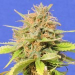 Girl Scout Cookies Auto ORIGINAL SENSIBLE SEEDS