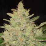 Blueberry Ghost OG Fem ORIGINAL SENSIBLE SEEDS