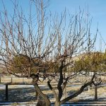 Time To Prune Fruit Trees Northern Nevada Horticulture