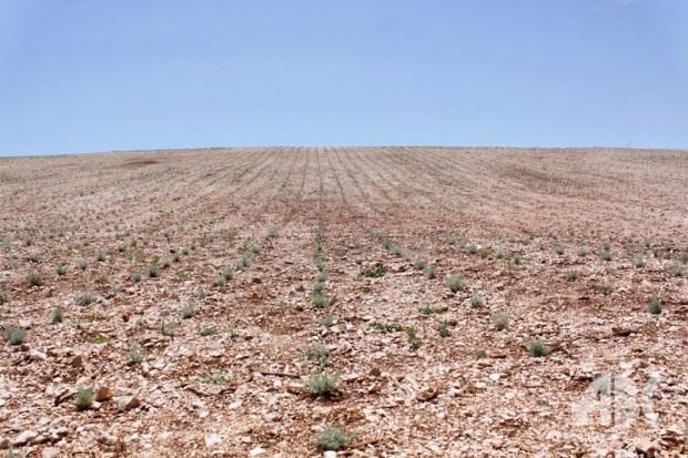 plantaze-smilja-0623215
