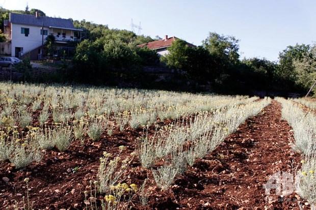 plantaze-smilja-0623415