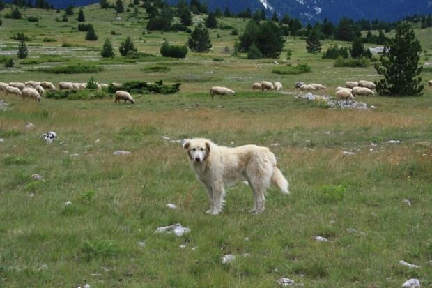 01102016-stado-ovce-blidinje6