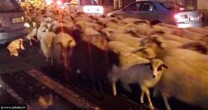 ovce-sb