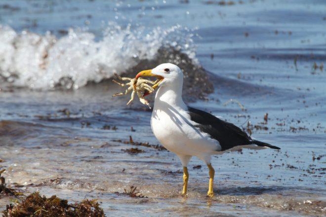 What is a Golden Albatross?
