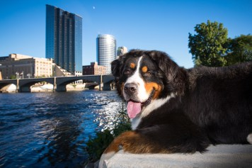 bernese mountain dog in front of Grand Rapids skyline, grumpy pups pet photography